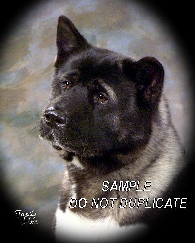 ~Shepherd akita mix puppy images~, ~white akita puppies ...