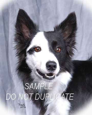 7 year old short haired border collie Classified Ad - Georgia Dogs and